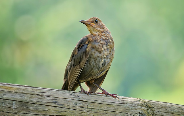 Brown Thrasher by Image by Daniel Hourtoulle from Pixabay
