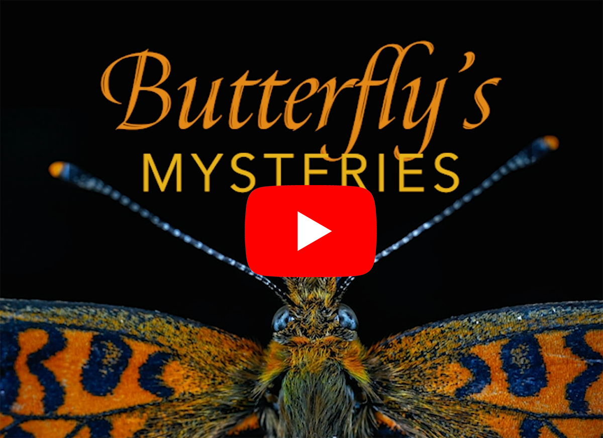 Butterfly's Mysteries youtube arrow