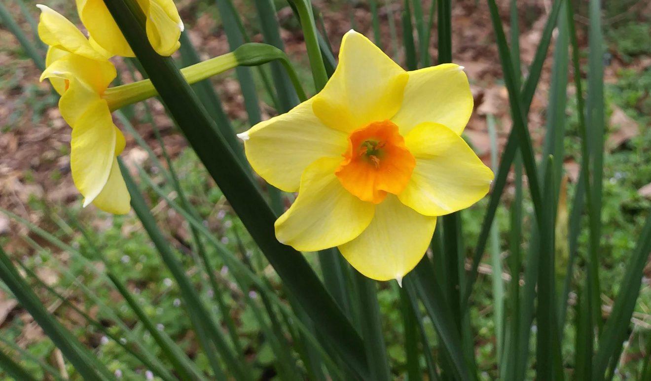 Orange-fill Narcissus, March 2020 crop