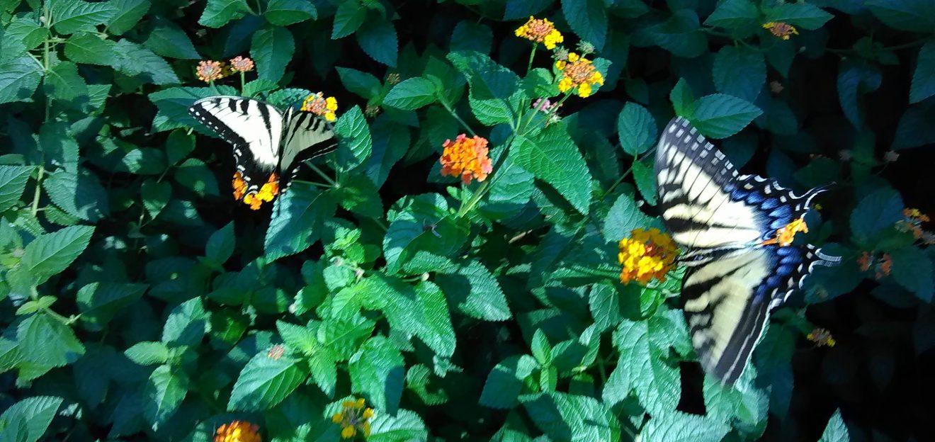 butterflies and lantana crop