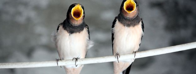 Bird duet