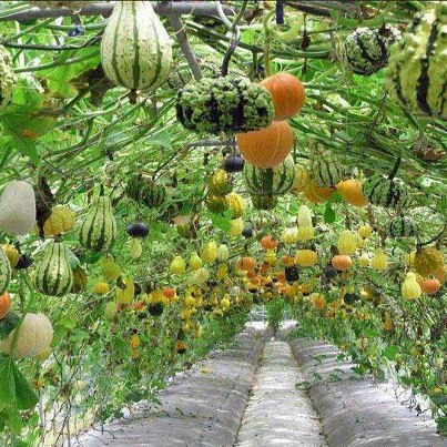 Gourds hanging