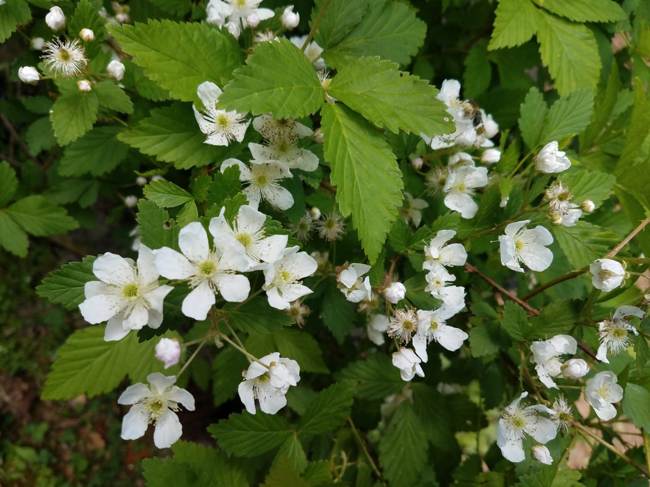blackberry flowers - april